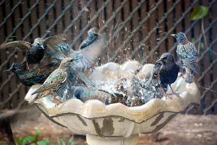 European Starling Bath Frenzy