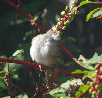 White-Throated Sparrow Impersonating Carmen Miranda