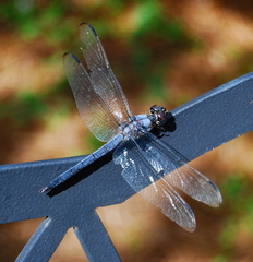 Dragonfly on Bench