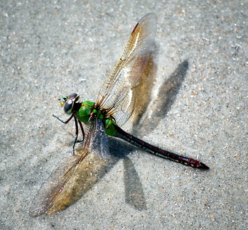 Colorful Dead Dragonfly