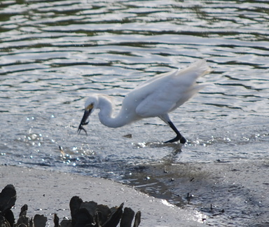 Snowy Egret with a Mouthful of Fish
