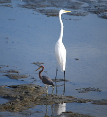 Tricolor Heron and Great Egret