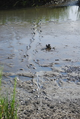 American Alligator Tracks
