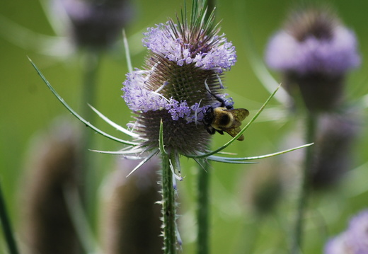 Honey Bee on Teasel