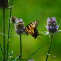 Eastern Tiger Swallowtail on Teasel