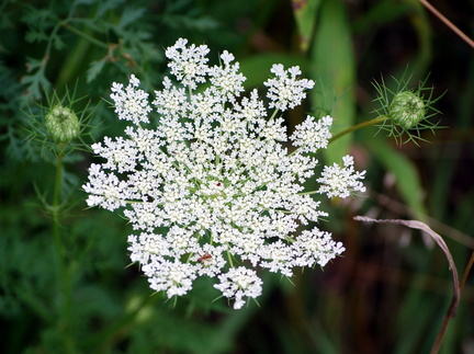 Queen Anne's Lace with an Ant
