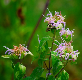 Bumblebee on Wild Bergamot