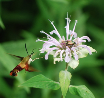 Hummingbird Moth and Japanese Beetle