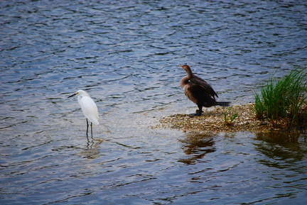 Snowy Egret and Anhinga