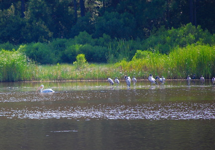 White Pelican and Wood Storks