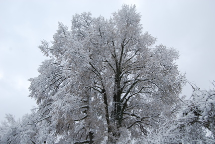 Snow-Covered Oak