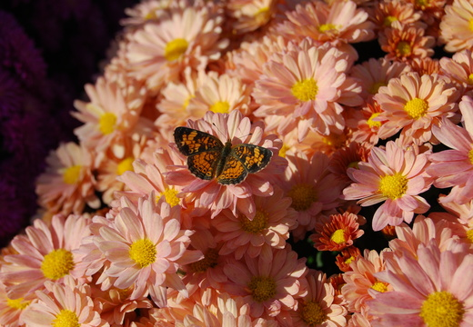 Butterfly on Mums
