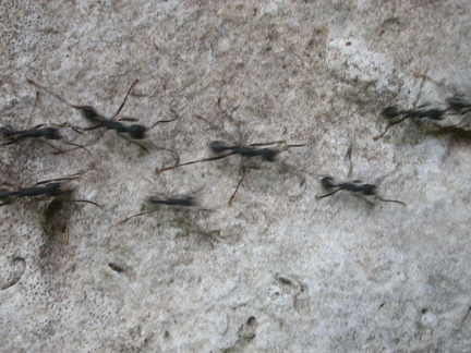 Parade of Ants