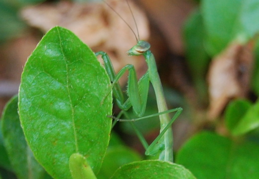 Praying Mantis -- 5/31/09