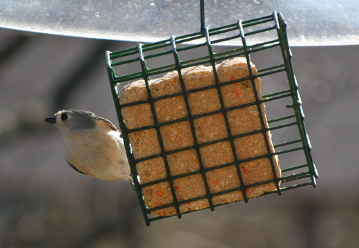 Tufted Titmouse -- 2/12/09