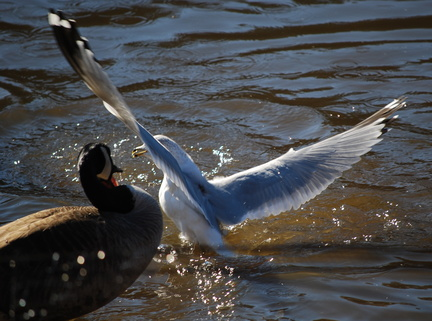 Ring-Billed Gull and Canada Goose