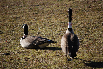 Canada Geese -- K9C7 and K6E1