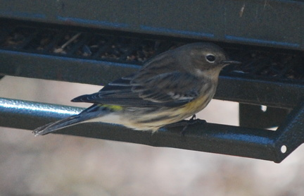 Female Yellow-Rumped Warbler -- 2/5/09