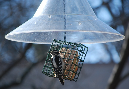 Exorcist Bird, AKA Downy Woodpecker