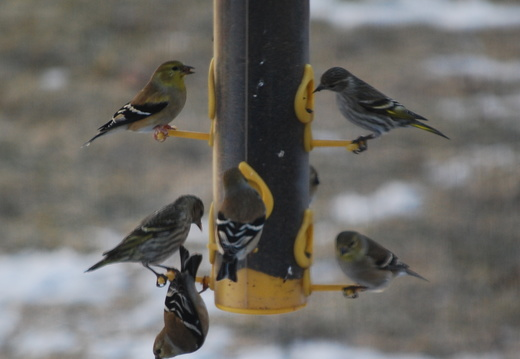 Goldfinches and Siskins -- 1/22/09