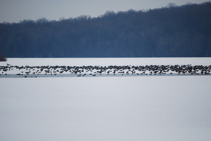 Find the Snow Goose