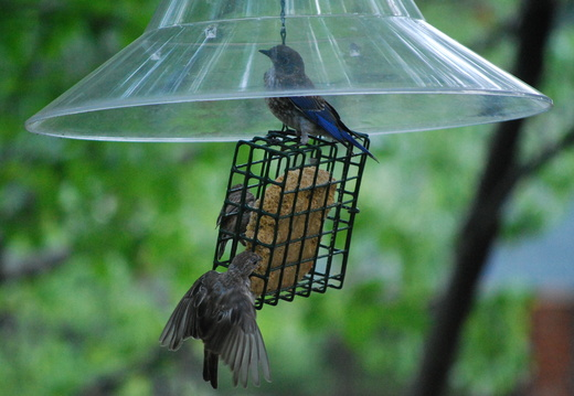 Eastern Bluebird and Indigo Buntings