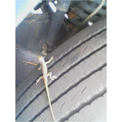 Lizard on Truck Tire