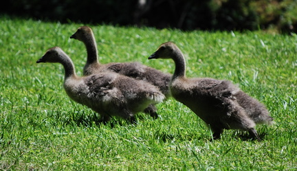 Running Goslings