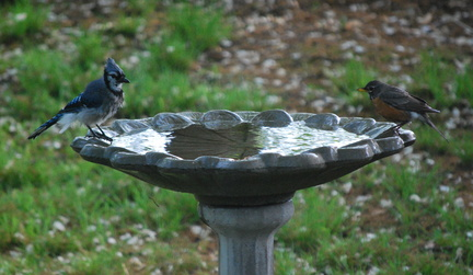 Blue Jay and American Robin