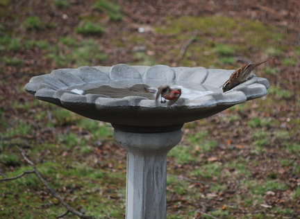 White-Throated Sparrow and House Finch
