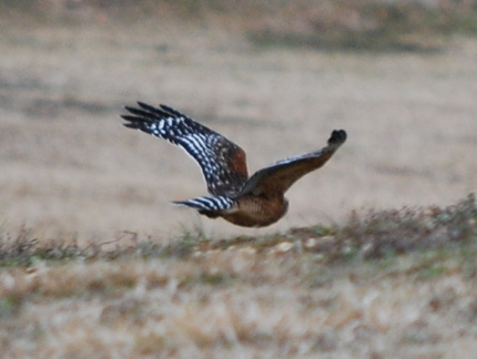 Red-Shouldered Hawk Flying Away
