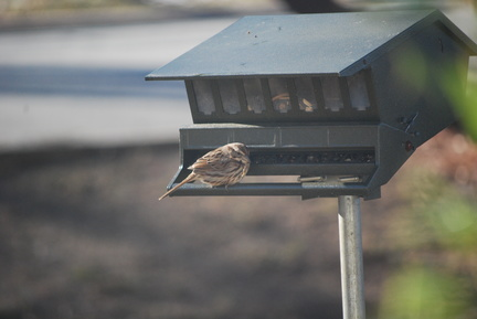 Savannah Sparrow -- Puffed Up
