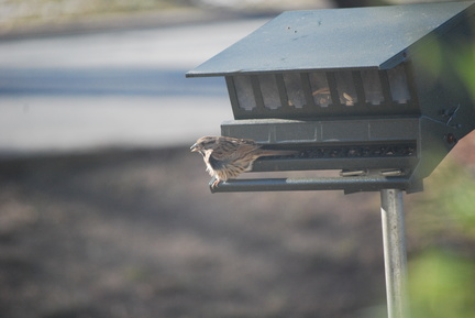 Savannah Sparrow -- Slightly Rumpled