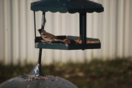 House Sparrow and House Finch