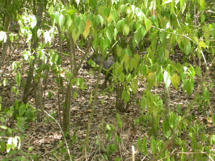 Spot the Peccary
