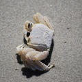 Ghost Crab Playing Dead
