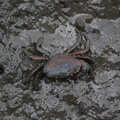 Crab in the Saltwater Marsh