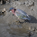 Green Heron with Fish