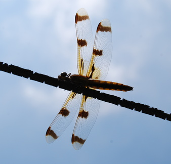 Dragonflly on a Wire
