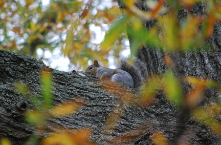 Squirrel in Oak