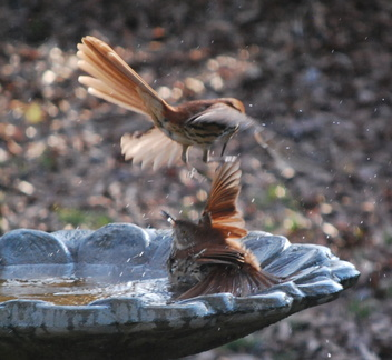Brown Thrashers, the Fight