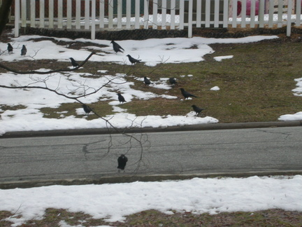 Crow Party in the Yard