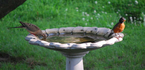 Mourning Dove and American Robin -- 6/19/09