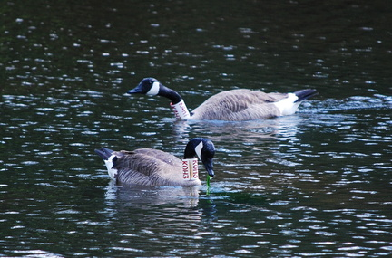 Canada Geese -- K0H3 and K4H7
