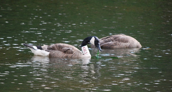 Canada Geese -- K8E3 and Friend