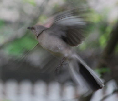 Mockingbird -- 4/30/09