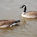 Canada Geese -- K9H9 and K8C4