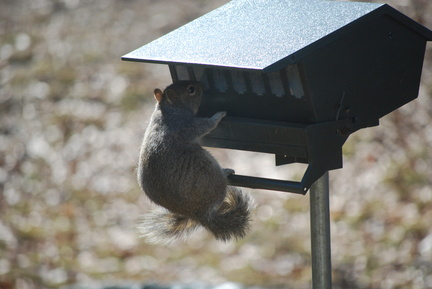 Squirrel on the Feeder