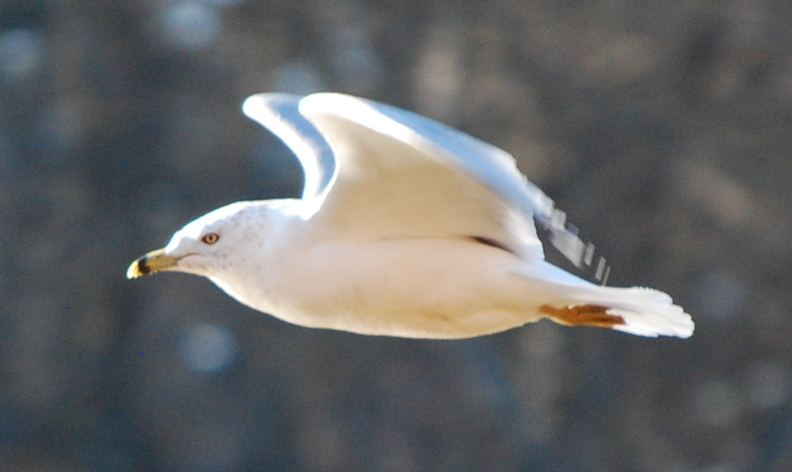 Ring-Billed Gull -- 2/7/09