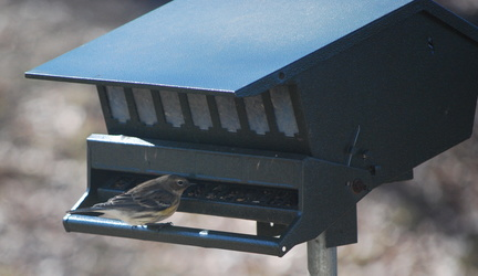 Female Yellow-Rumped Warbler